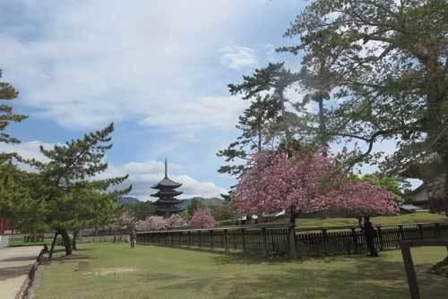 210412興福寺八重桜
