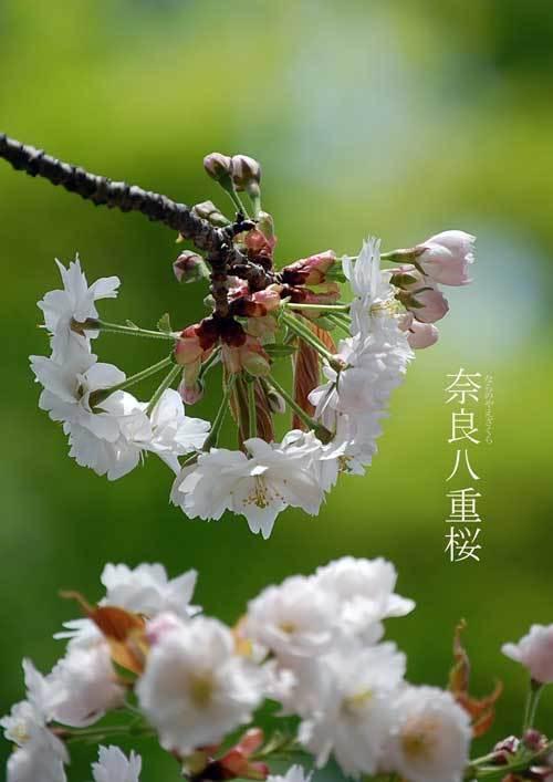 naranoyaezakura20210418ブログ