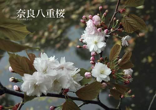 naranoyaezakura1210418ブログ