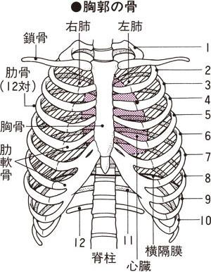 肋骨 ひび 早く 治す