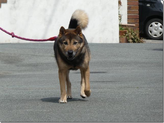 20200411-01昼散歩-北海道犬カムイ-03