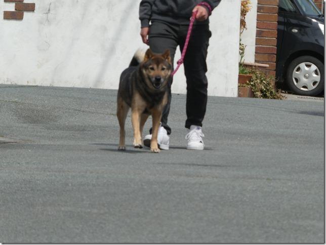 20200411-01昼散歩-北海道犬カムイ-04