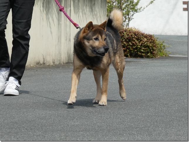 20200411-01昼散歩-北海道犬カムイ-05