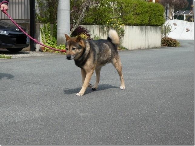 20200411-01昼散歩-北海道犬カムイ-06