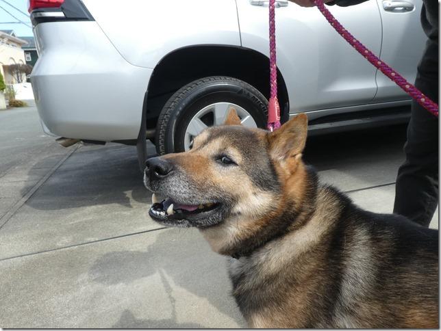 20200411-01昼散歩-北海道犬カムイ-09