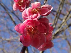 2021年2月の梅の花