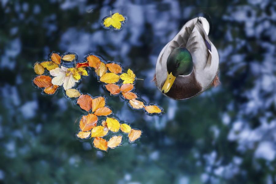 木の葉と浮かぶ マガモ