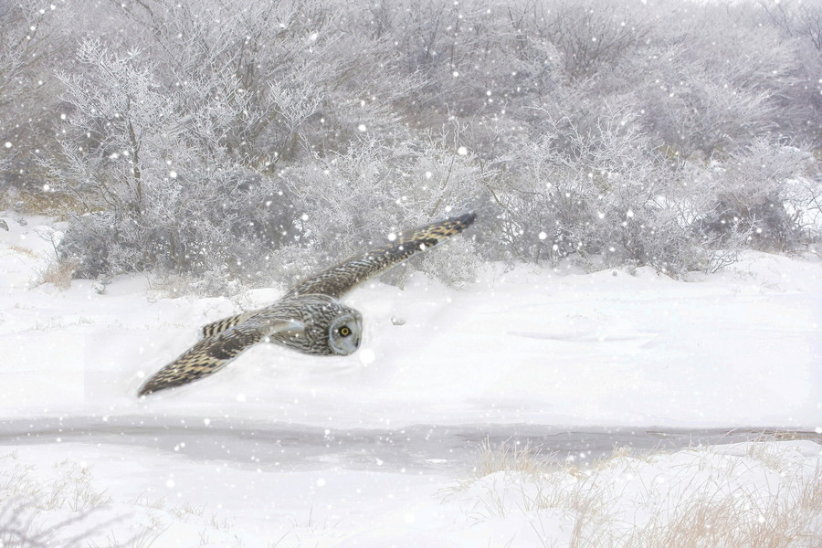 降雪の中飛翔のコミミズク