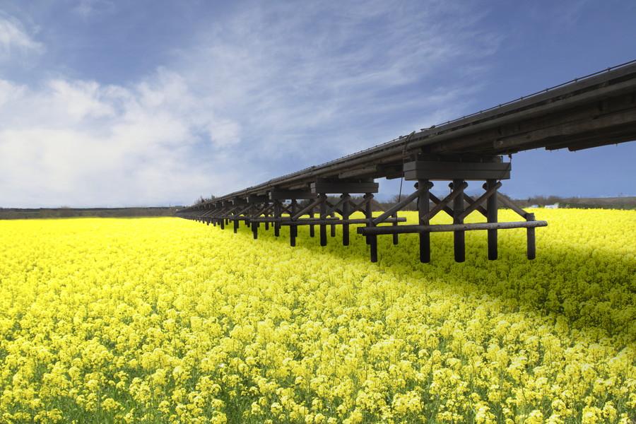 流れ橋と菜の花F