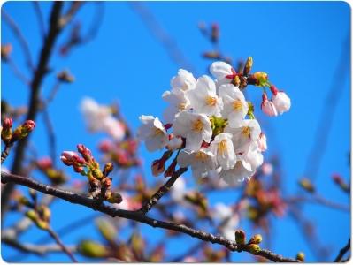 mini_12_sakura_P3211421.jpg