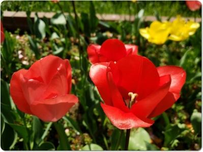 mini_15_tulip_20200415_131636.jpg