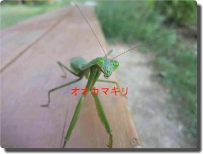 mini_17_ookamakiri_DSCF9109.jpg