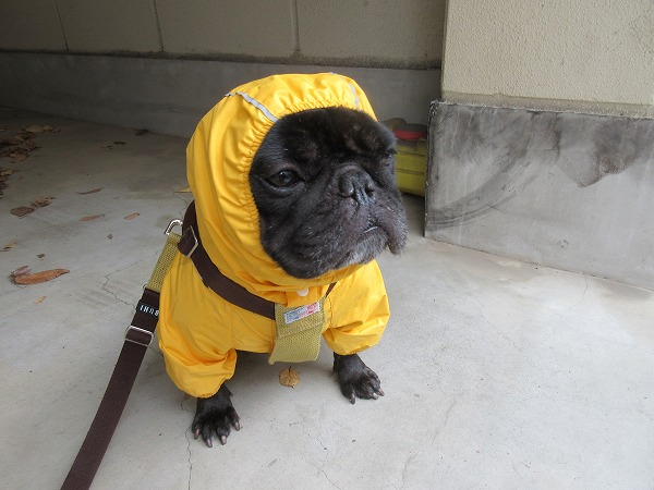 ⑦また雨降りだして結局カッパ着てウン〇散歩
