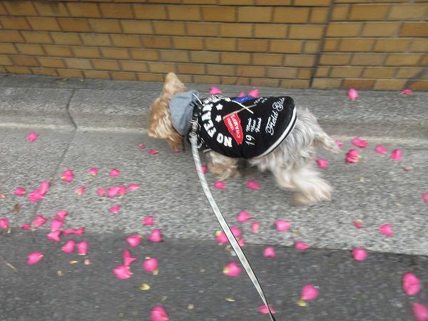 20201127⑧武蔵のグルリ散歩コース ピンボケだけど椿の花びら綺麗だったよ
