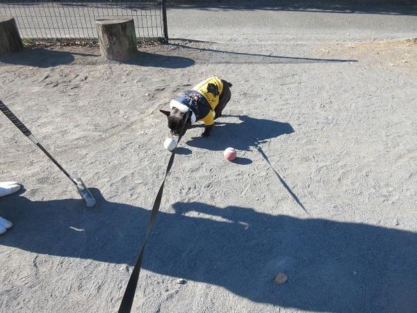 201223up02今日はゲートボールで爺ジと遊ぶ気分では無かったらしいw爺ジゆずが遊んでくれないと哀しんでたw