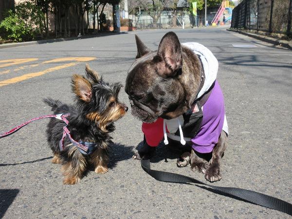 ④初めましての生後4か月のグリちゃん今日初散歩で全然歩かないとの事で少しゆずと一緒にお散歩したよイイ子に歩けました