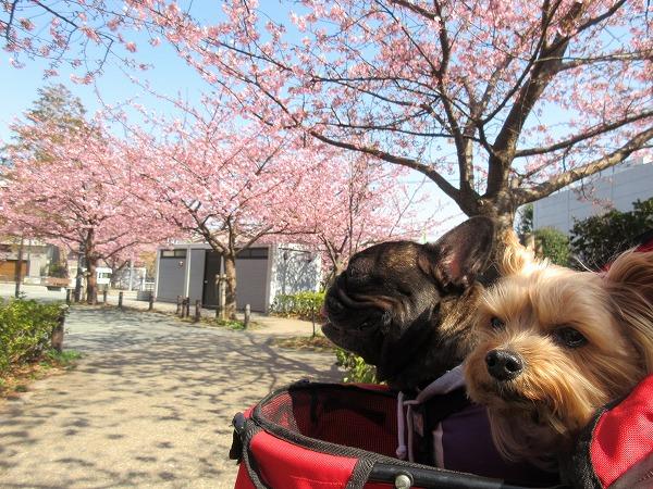 ⑤将軍池公園は河津桜満開