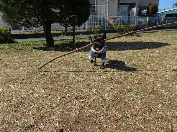 210224up032日間バギー散歩だったので大きな枝出してあげたよ