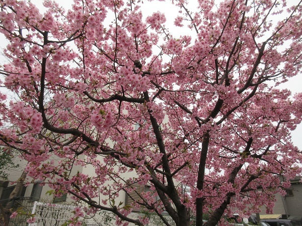 210226up04団地お散歩コースにある唯一の河津桜