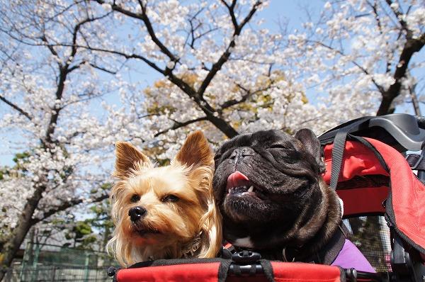 ②原っぱ広場お隣の毎年桜祭りをする公園のソメイヨシノも満開