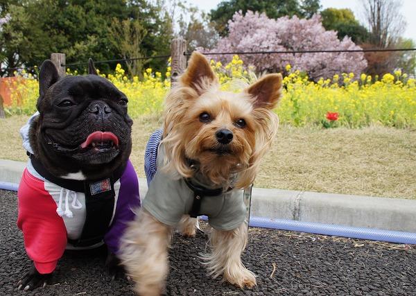 ④花の丘公園にて菜の花と高遠桜