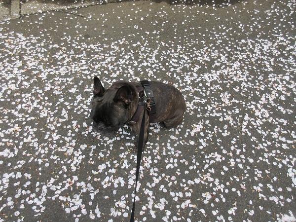 210329up07桜の花びらの絨毯