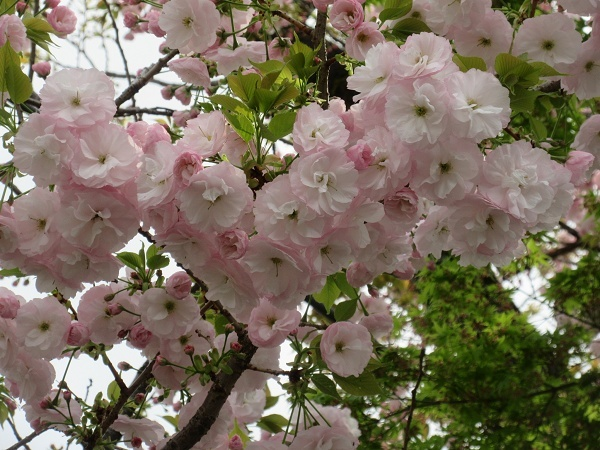 210330up04綺麗な桜なんていう桜の種類だろう?