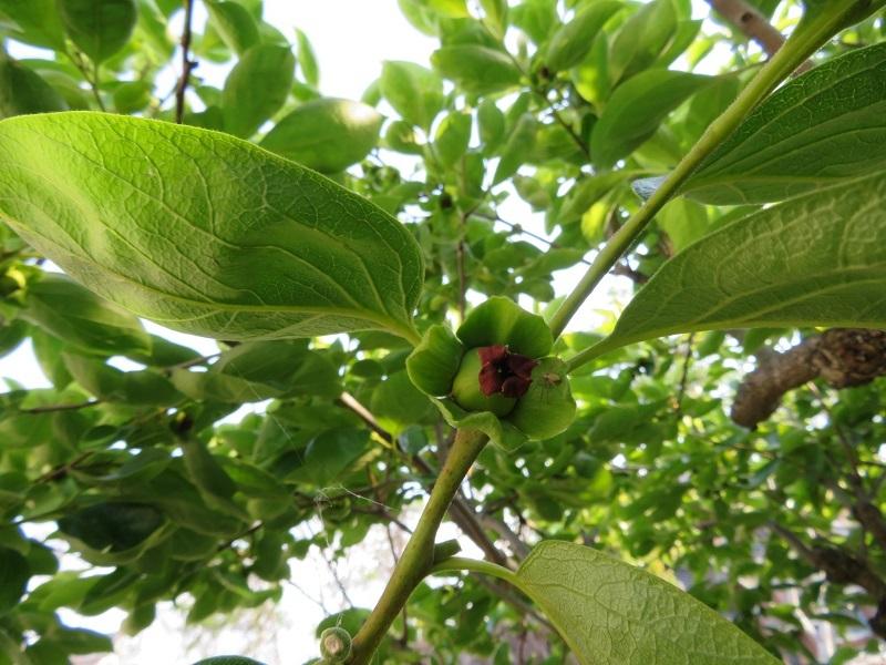 柿の蕾取り0205 (2)