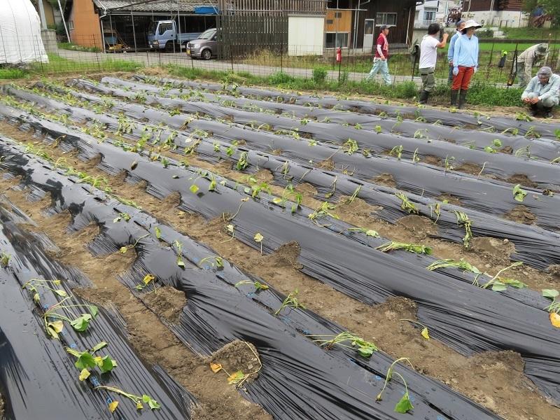 サツマイモ植え0206 (1)