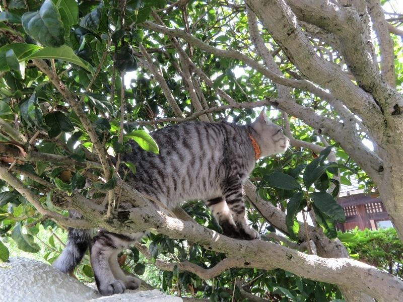 キンモクセイ猫