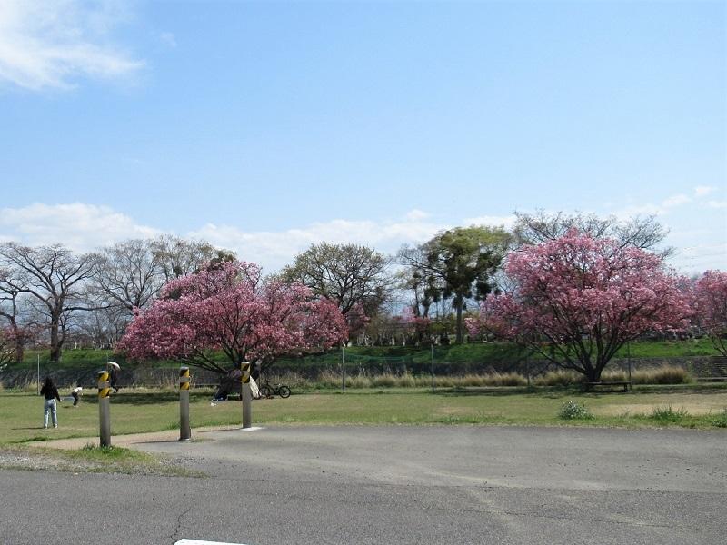 桜の季節0303 (1)