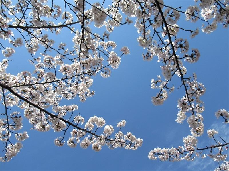 桜の季節0303