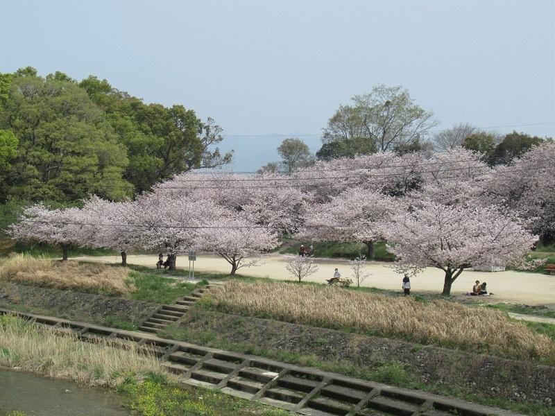 桜三昧0303 (1)