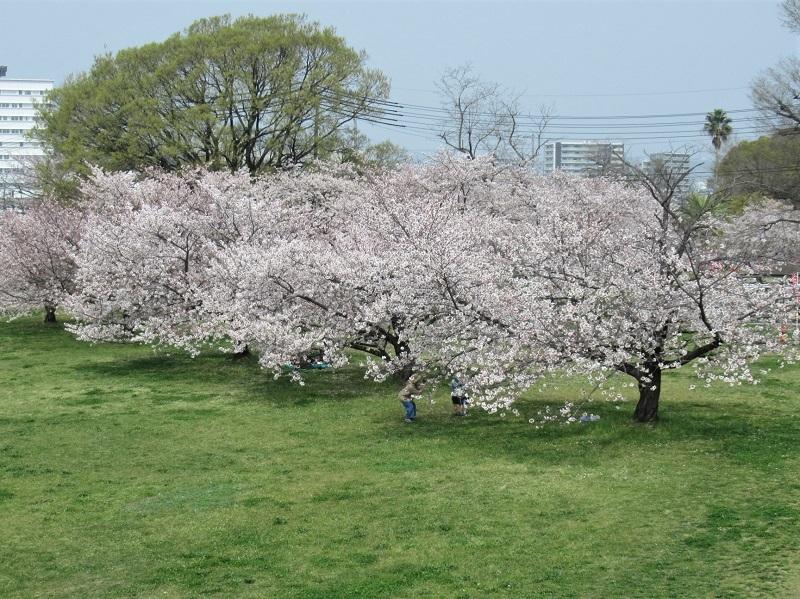 桜三昧0303 (2)