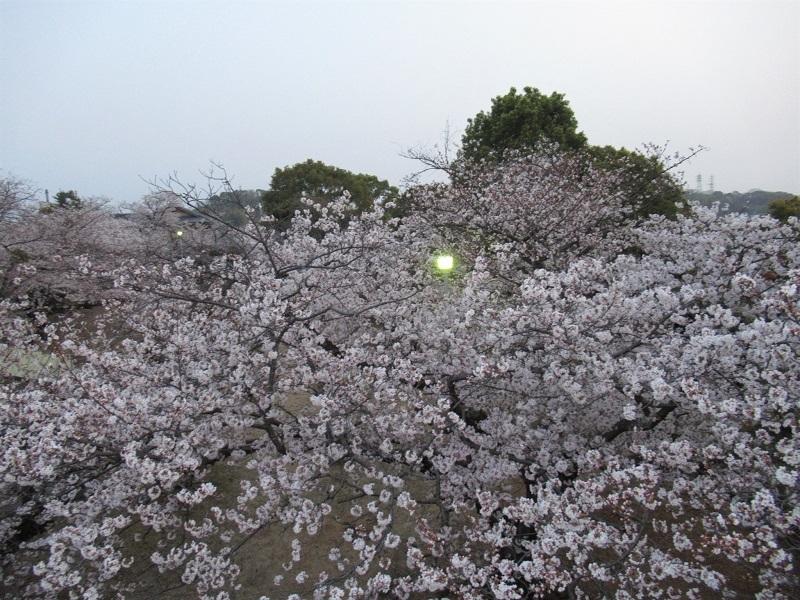 桜三昧0303 (4)