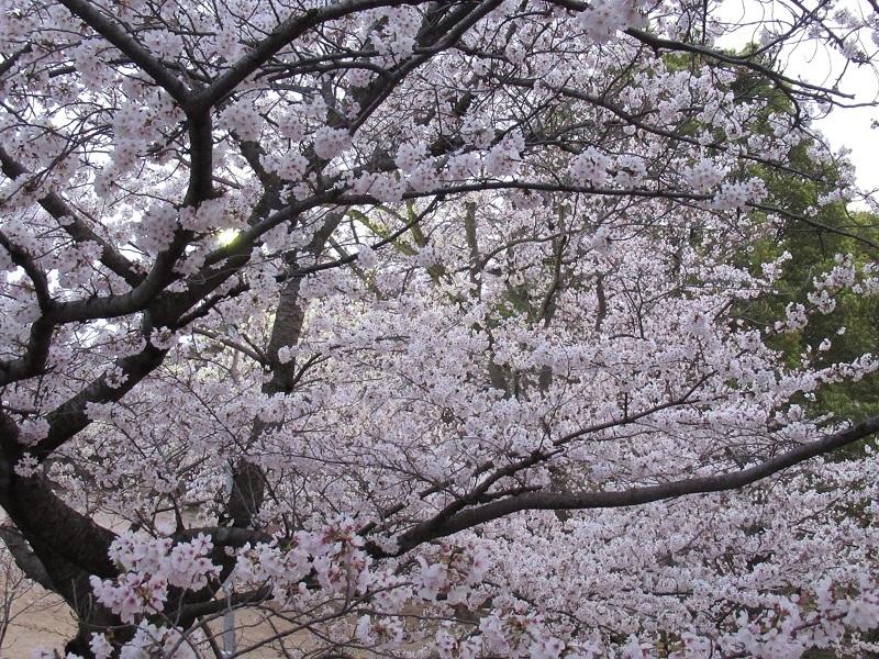 桜三昧0303 (5)