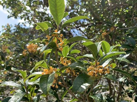金木犀の花
