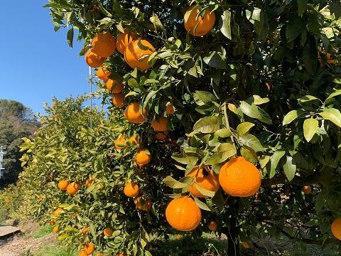 2021年産 むつがわデコは表年で収穫量は多い