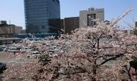 議会の窓からの桜の景色