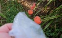 ナガミヒナゲシの花を抜く