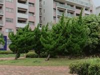 風で傾く木