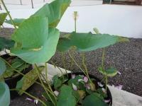 大賀ハスの鉢植え