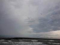 空を飛ぶコアジサシ