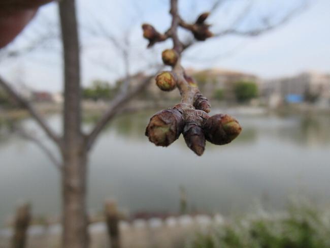 200313桜 (1)