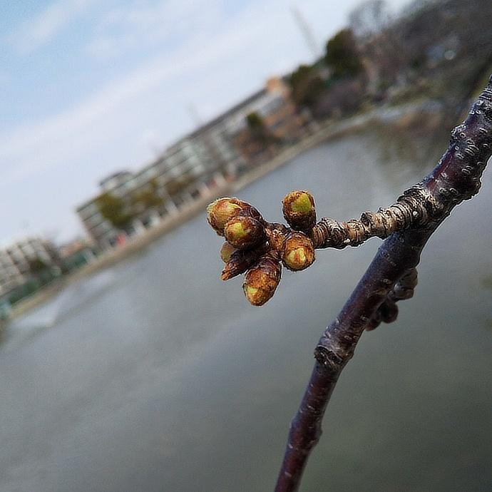 200318桜 (1)