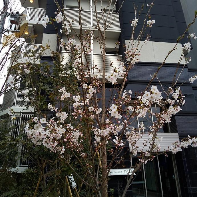 200323桜
