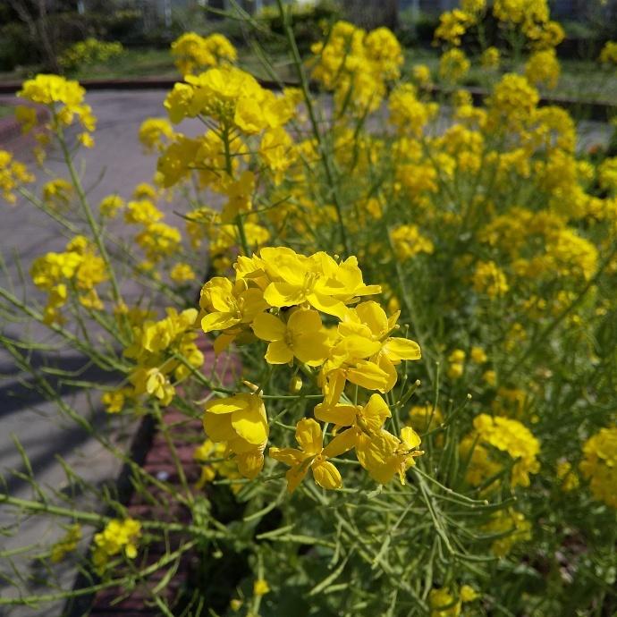 200312菜の花 (2)