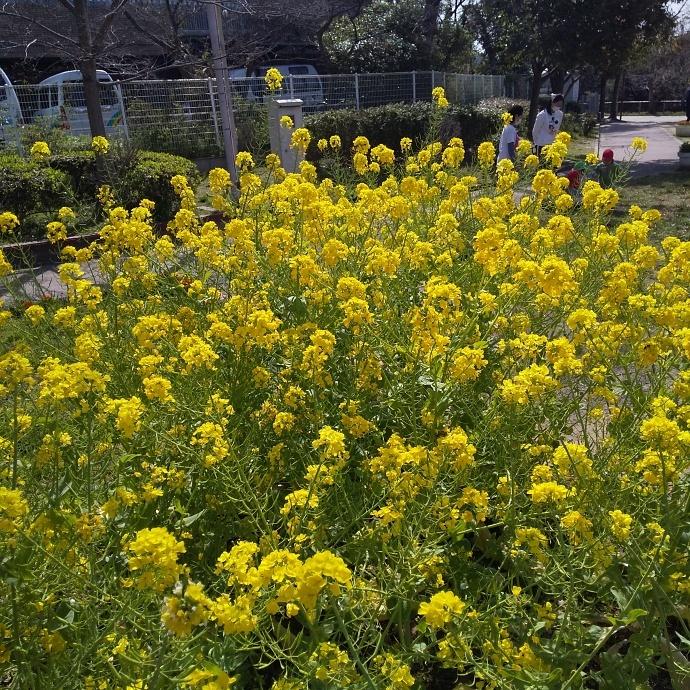 200312菜の花 (3)