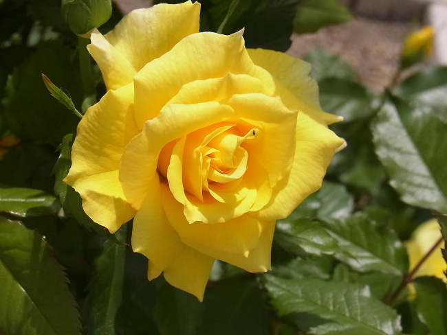 140522黄色いバラ (4)