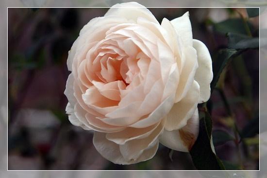 s-201117ローズマリーIMG_7135